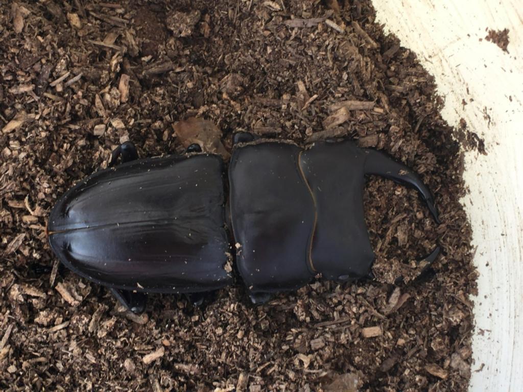 羽化したオオクワガタの成虫